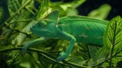 Green Chameleon Widescreen Wallpaper 49116