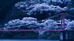 Japan Sakura Trees Wallpaper 51327