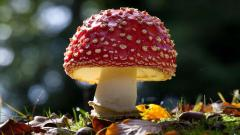Red Mushroom Desktop Wallpaper 50981