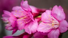 Sakura Flowers Wide HD Wallpaper 51331