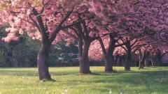 Sakura Trees Wallpaper 51332