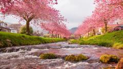 Sakura Trees Wide Wallpaper 51328