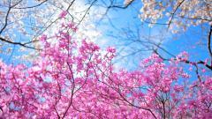 Spring Sakura Wallpaper 51333