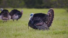 Turkey Bird Widescreen Wallpaper 50686