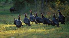 Turkey Birds Wallpaper Pictures 50684