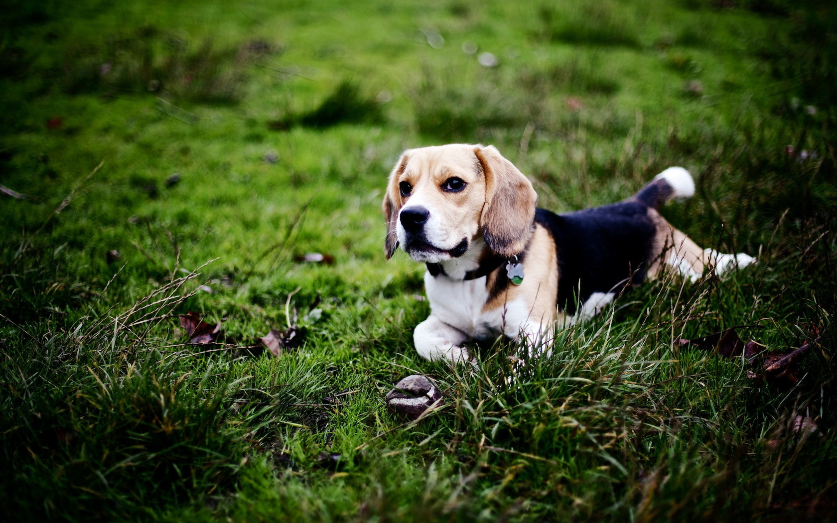 beagle dog computer wallpaper 50047