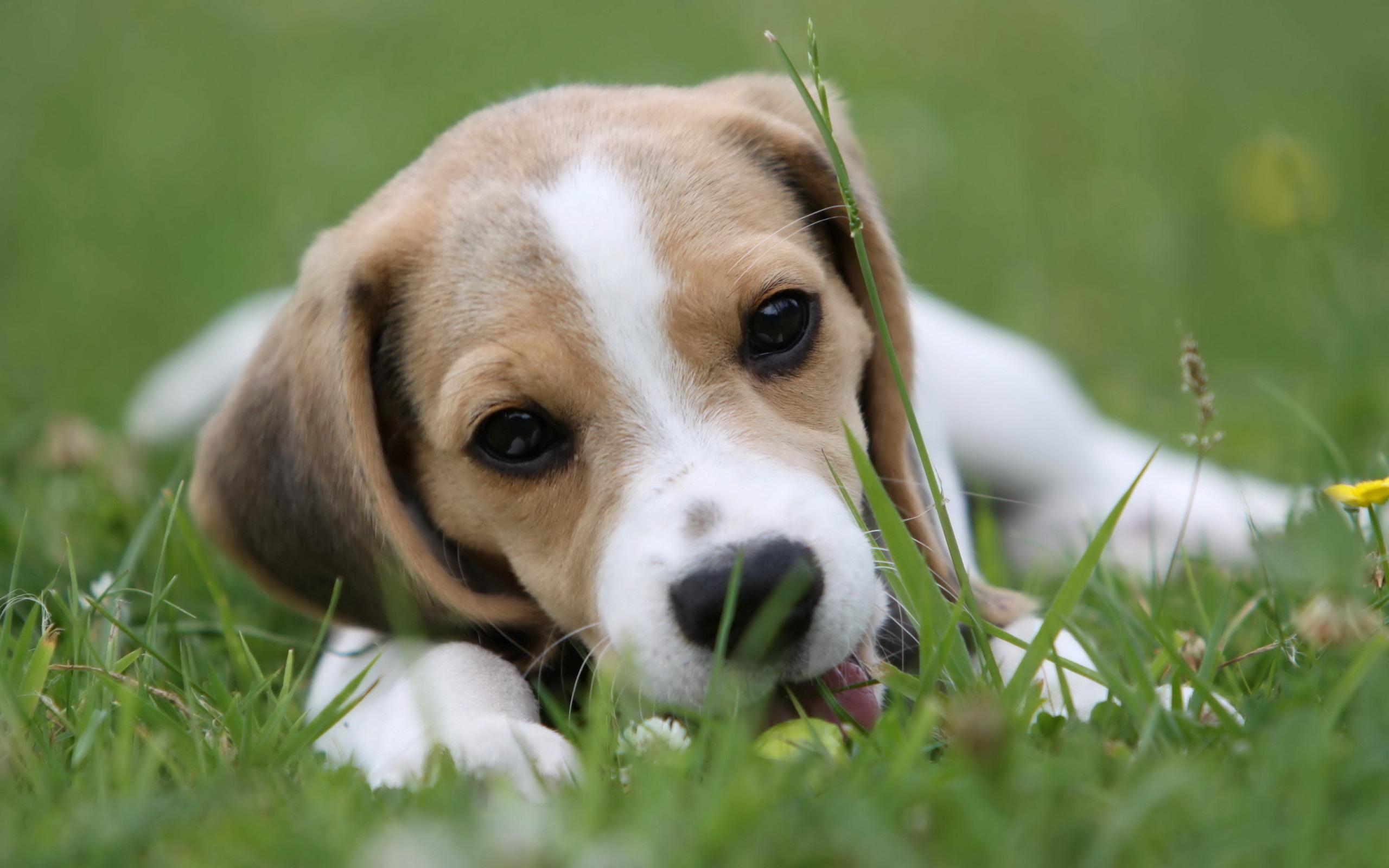 beagle dog wallpaper background 50051