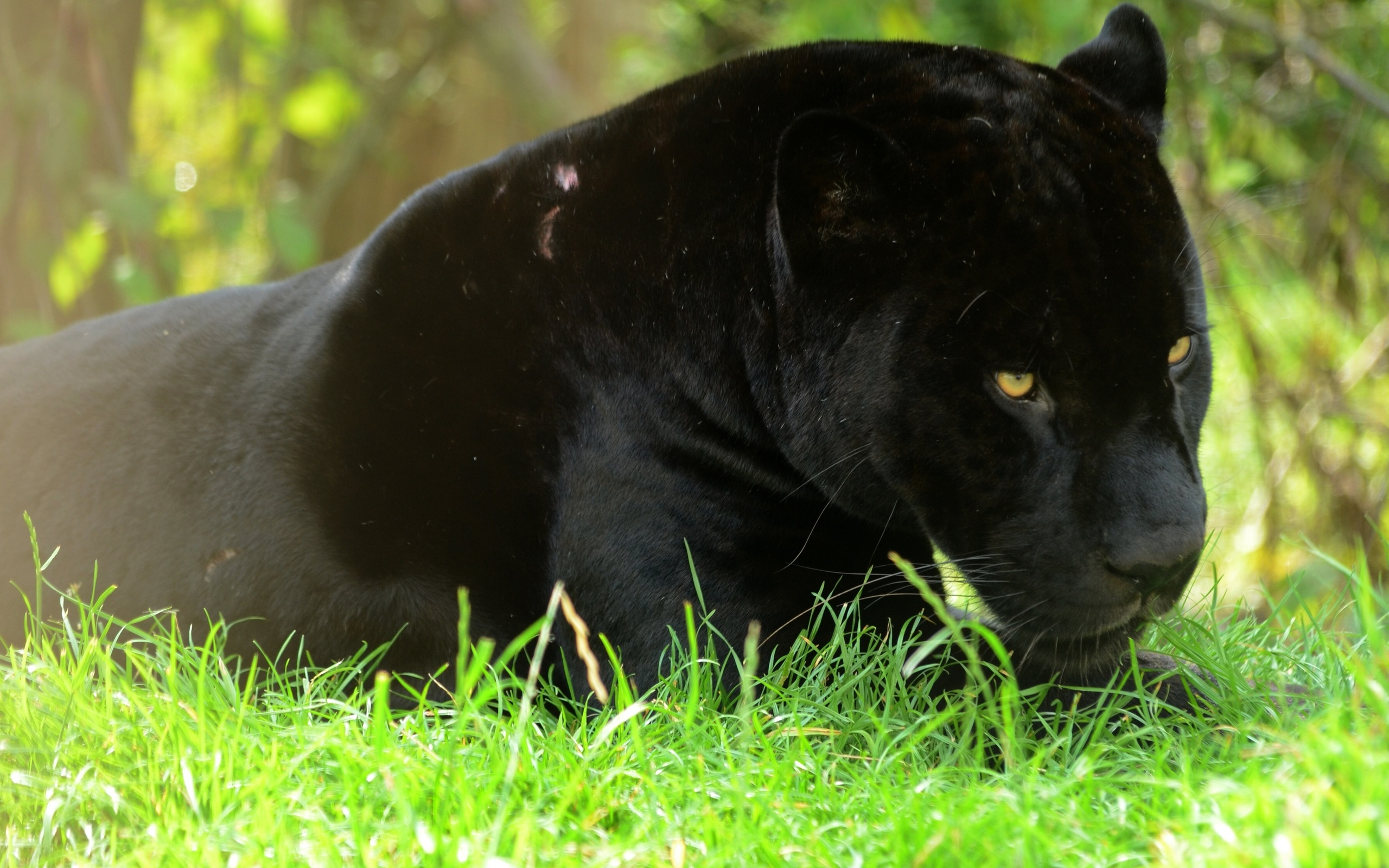 black panther wide wallpaper 52627
