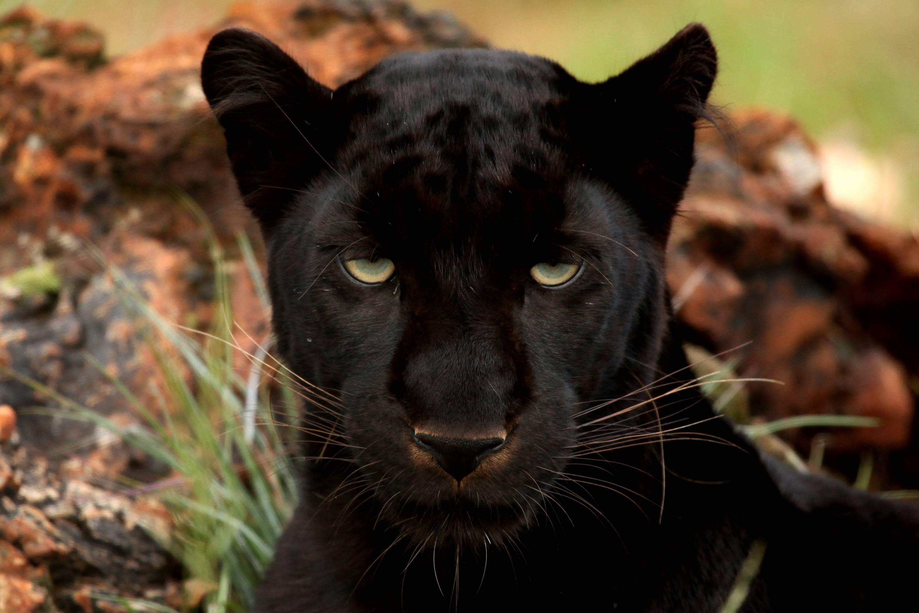 black panther widescreen wallpaper 52623