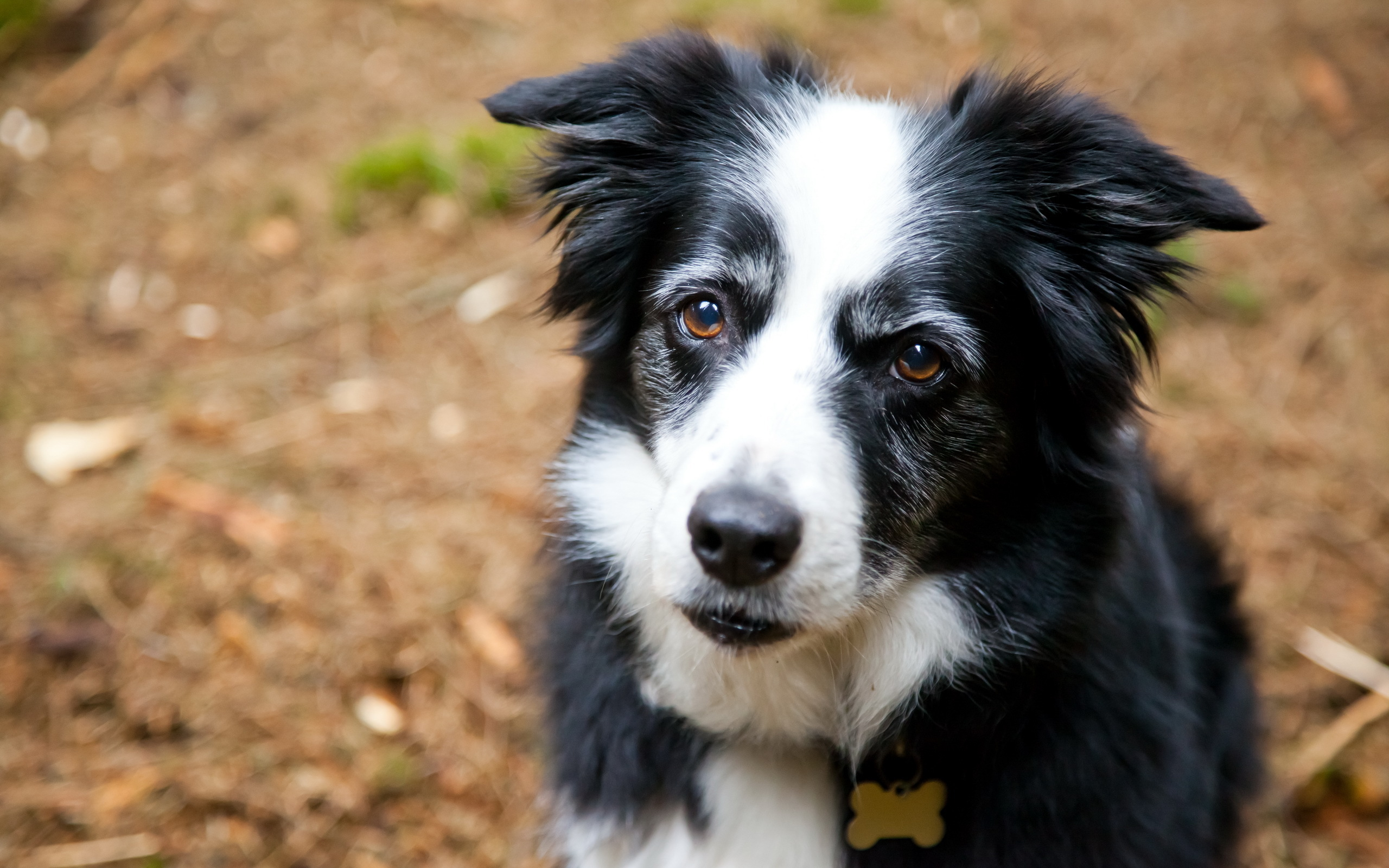 73 border collie hd - photo #21