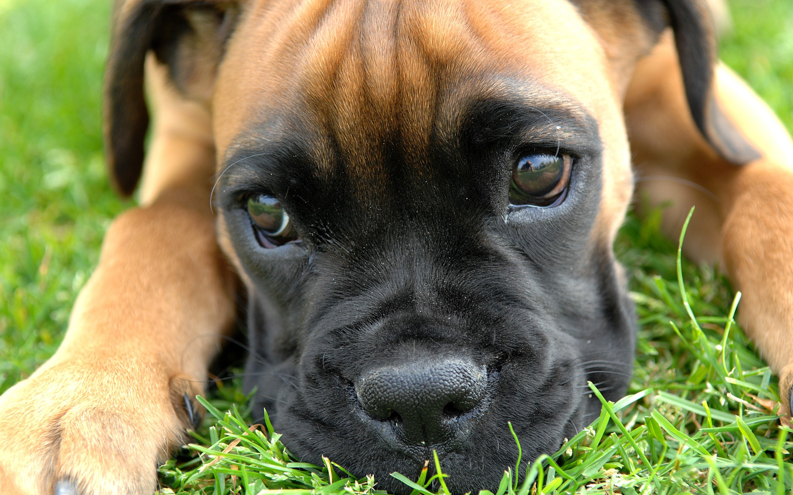 boxer dog up close wallpaper background 49556