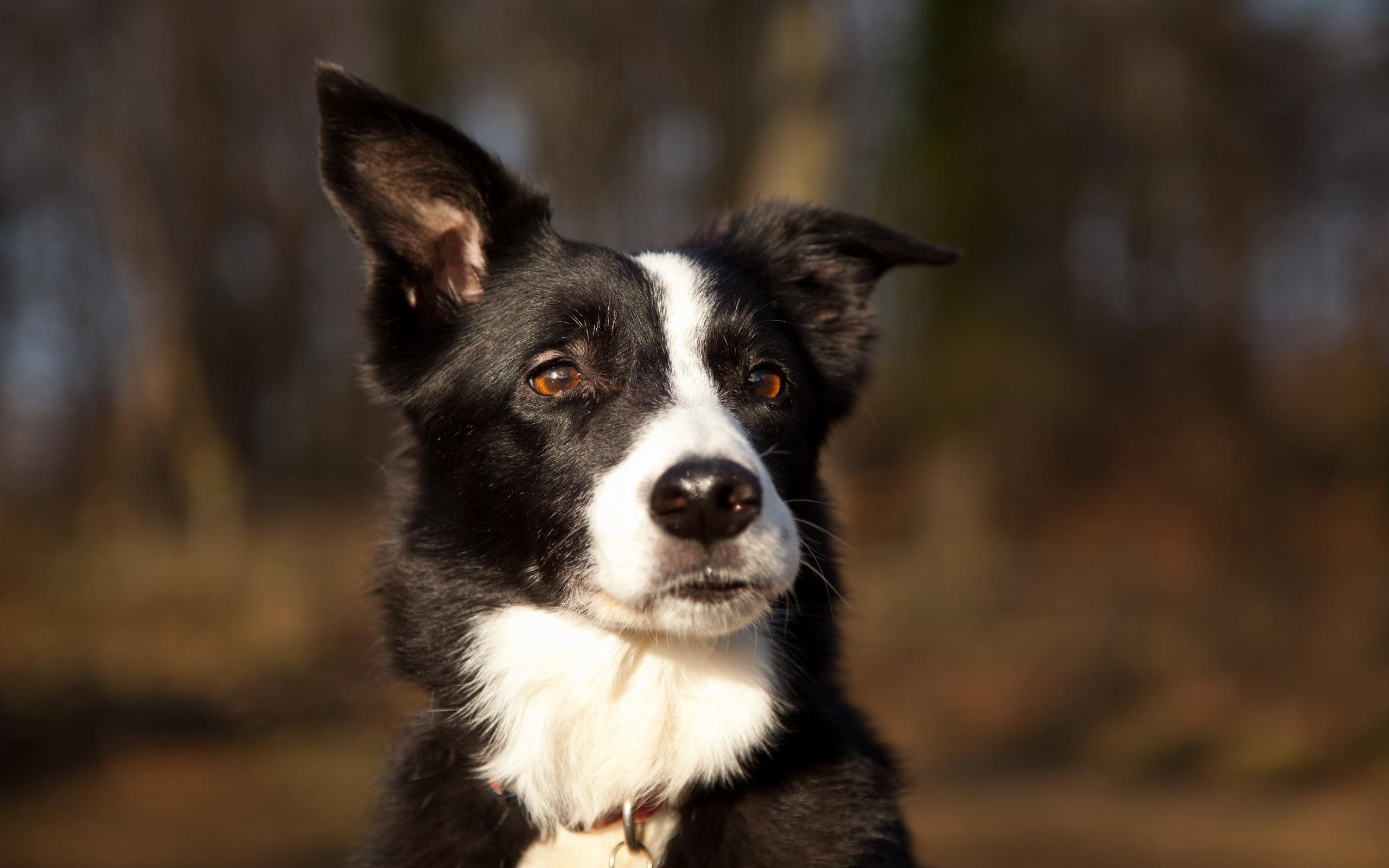 collie dog wallpaper background hd 49302