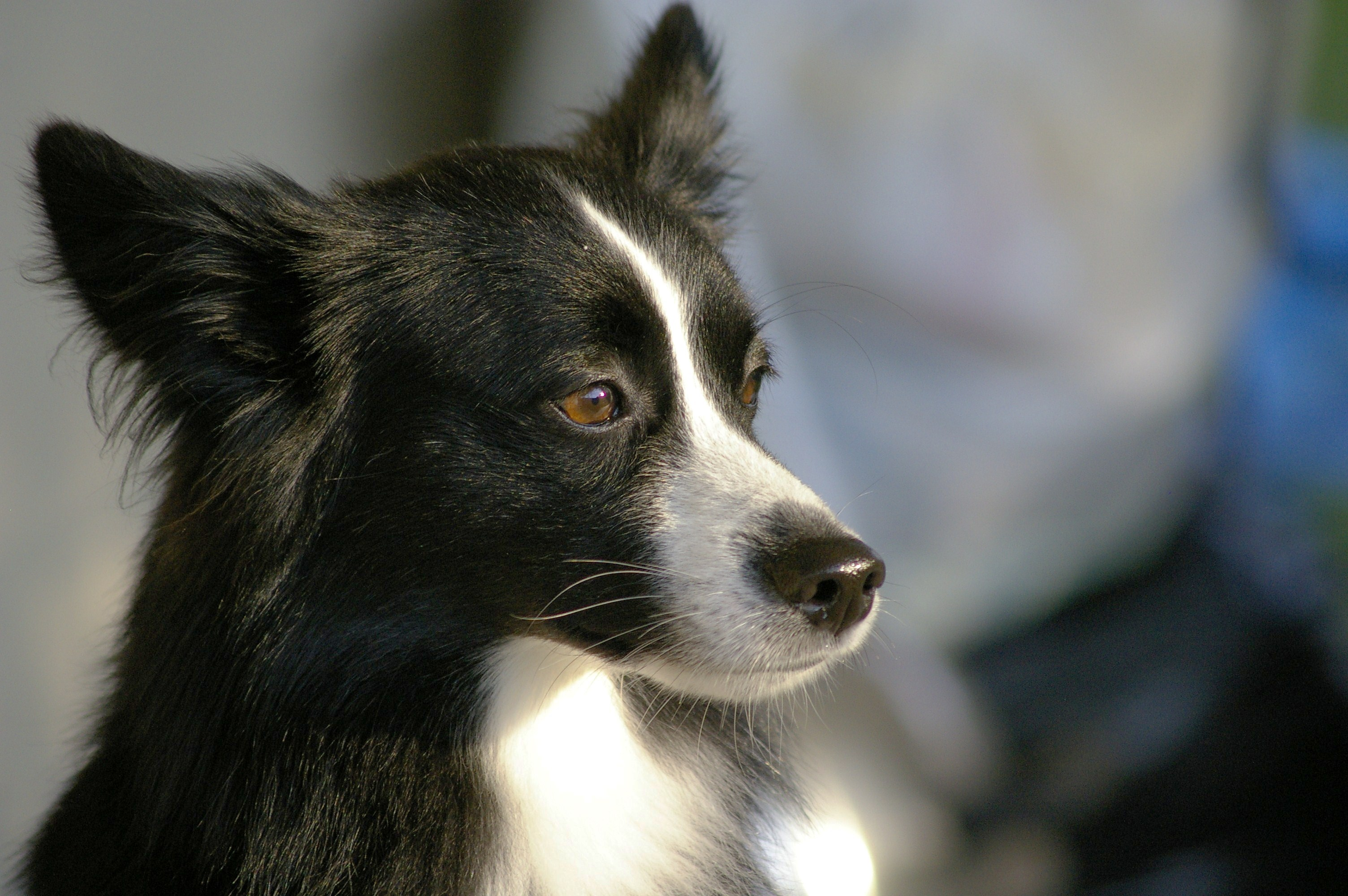 collie dog wallpaper pictures 49307