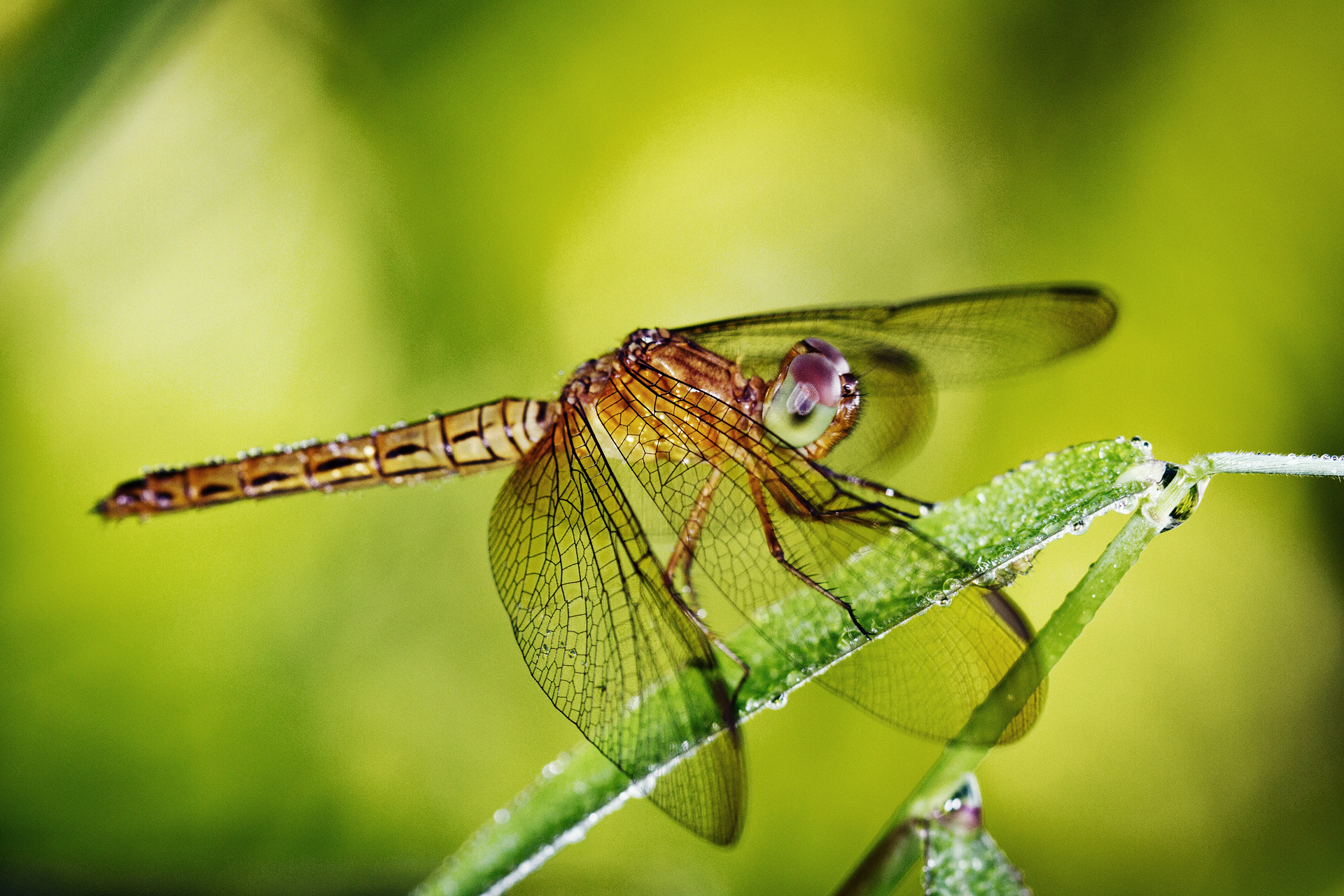 dragonfly animal wallpaper 49538