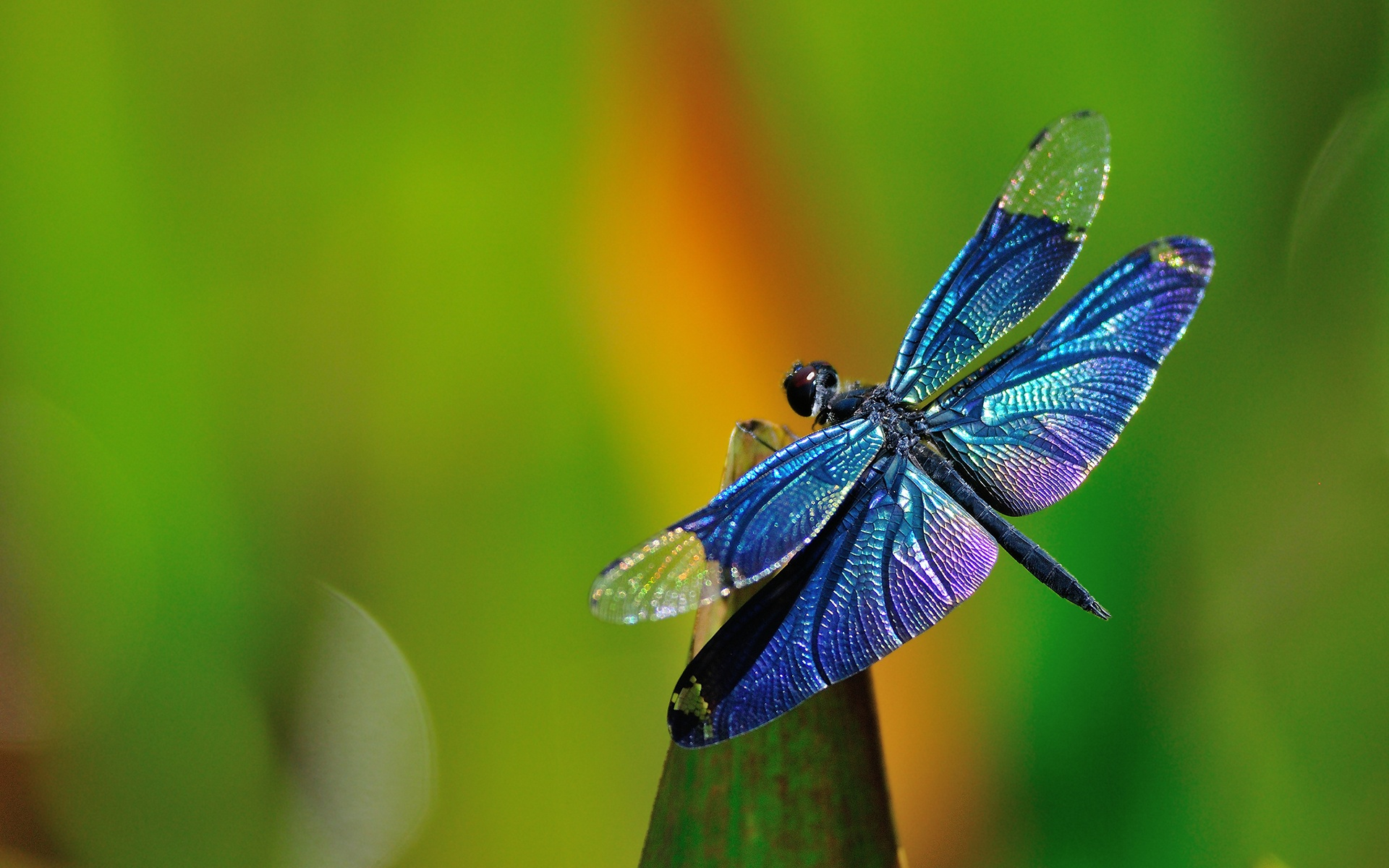 dragonfly desktop wallpaper 49544
