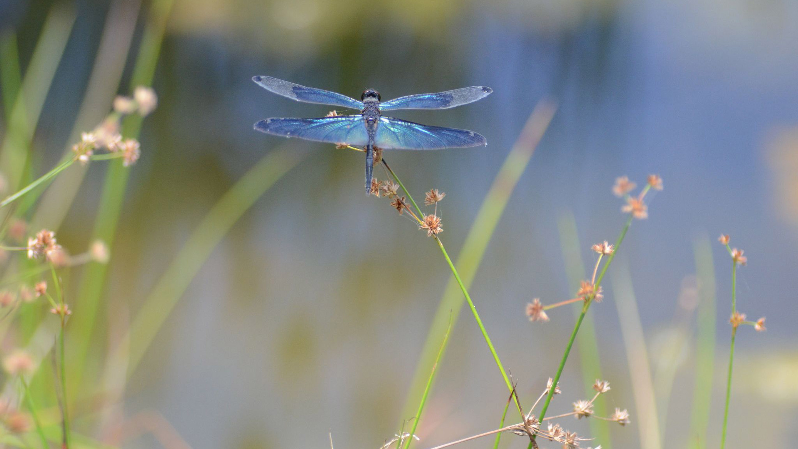 dragonfly wide wallpaper 49547