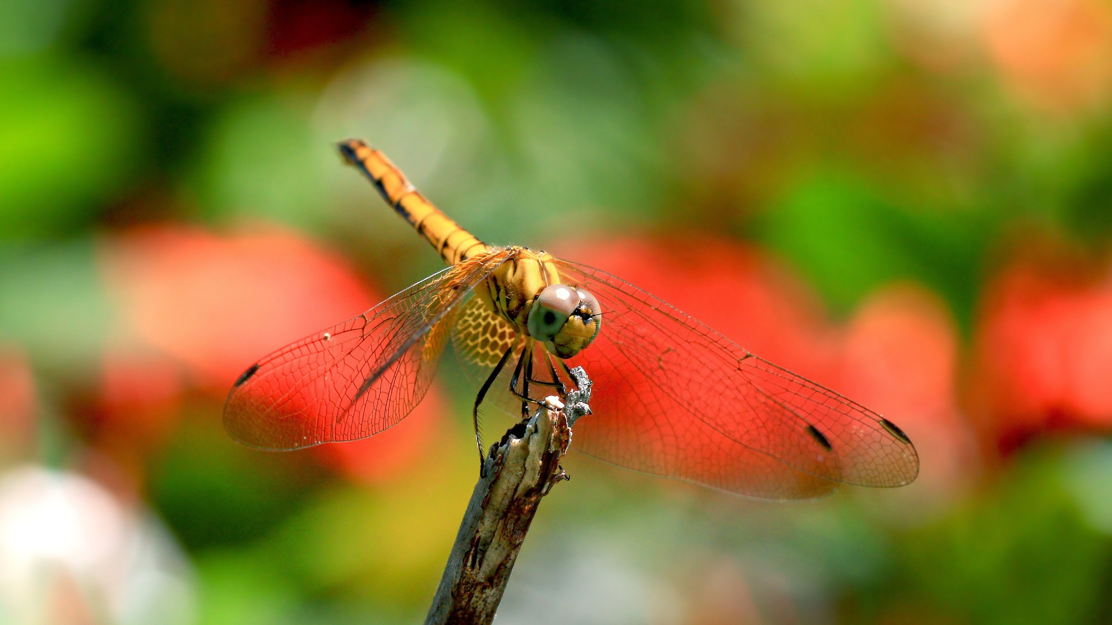 dragonfly widescreen wallpaper 49542