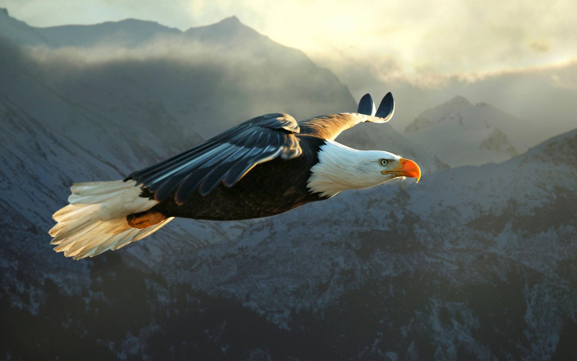 Eagle Wallpaper 50057 1920x1200 px HDWallSourcecom