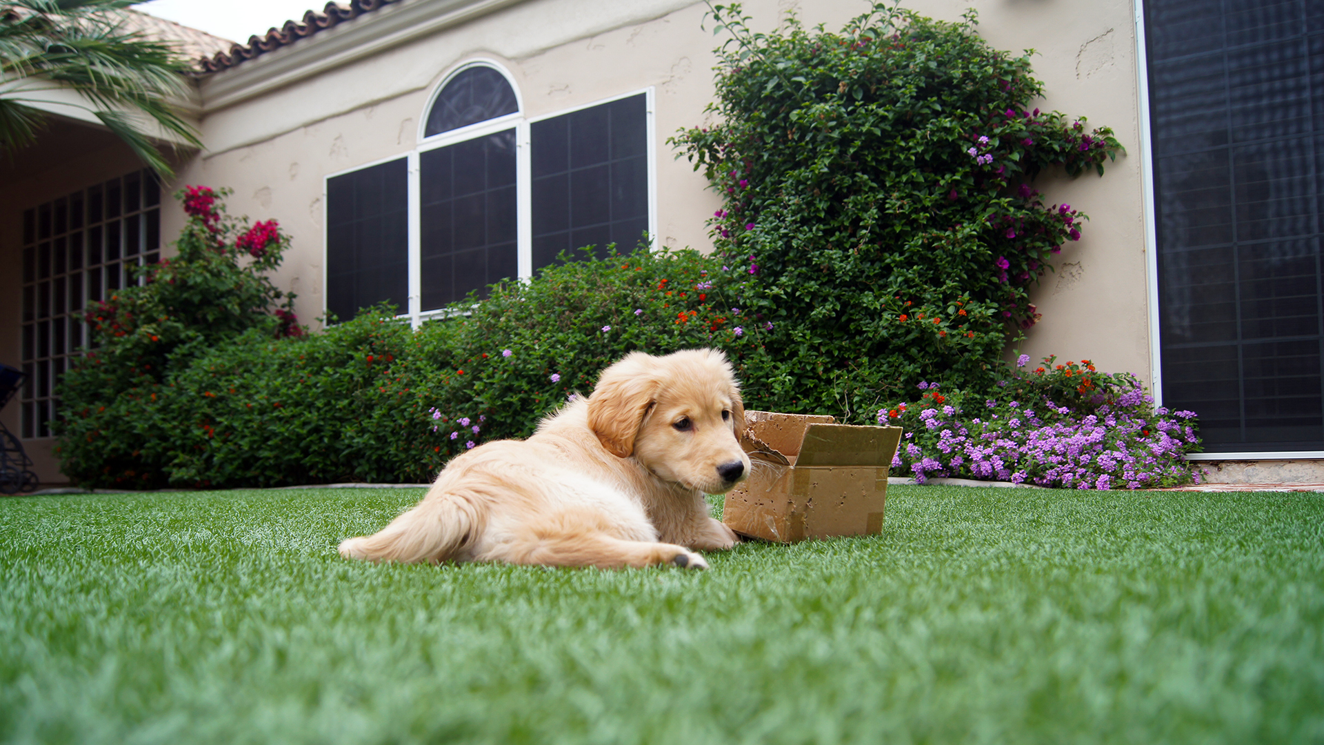 golden retriever puppy laying on grass wallpaper 56093