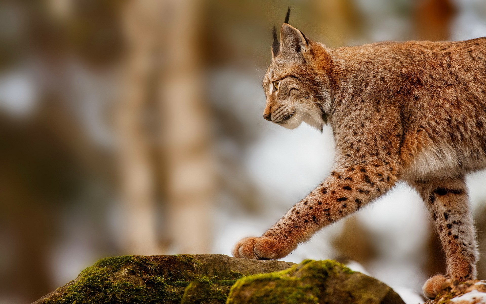 lynx desktop wallpaper hd 49575