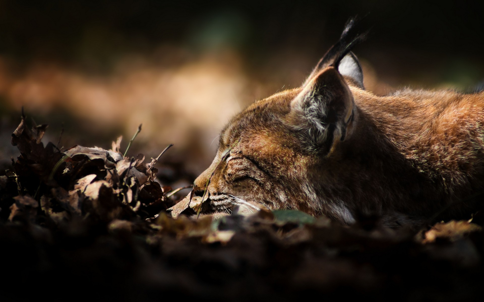 lynx sleeping wallpaper 49569
