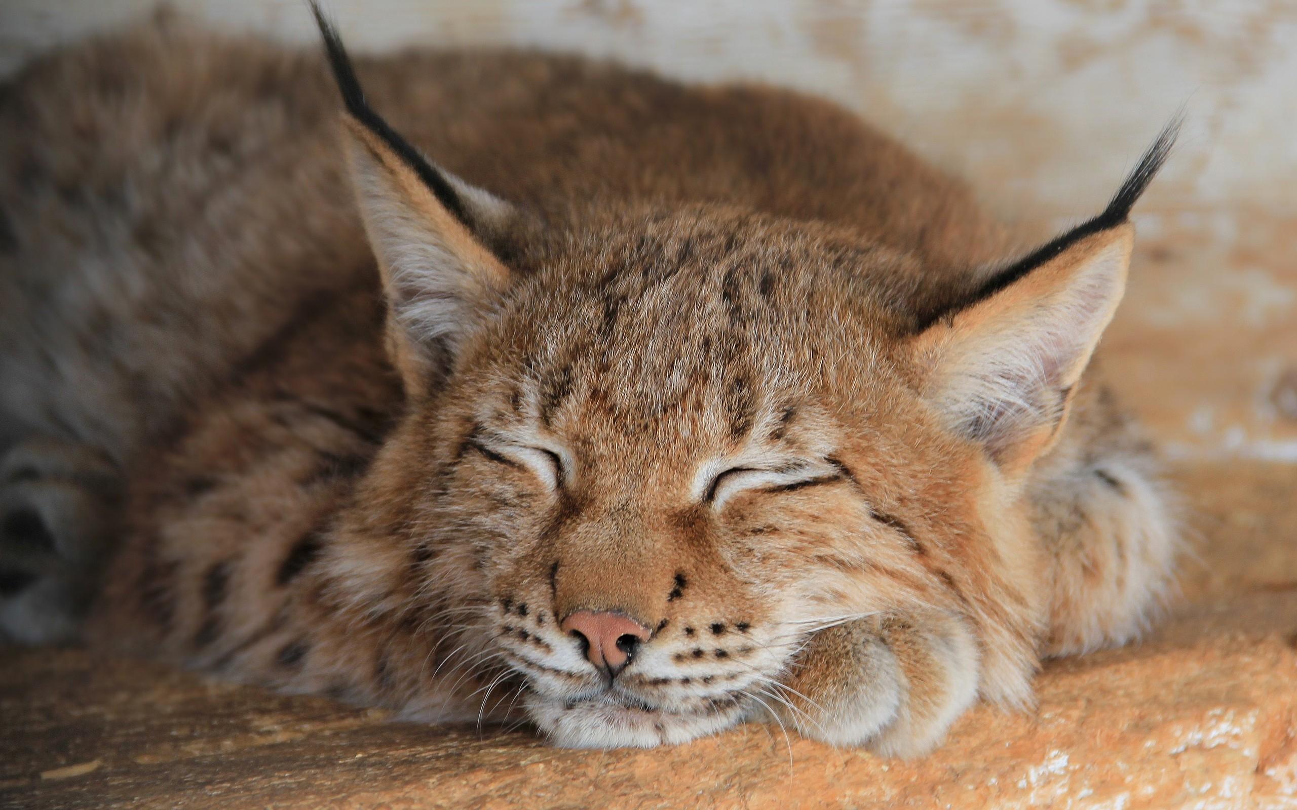lynx sleeping wallpaper background 49571