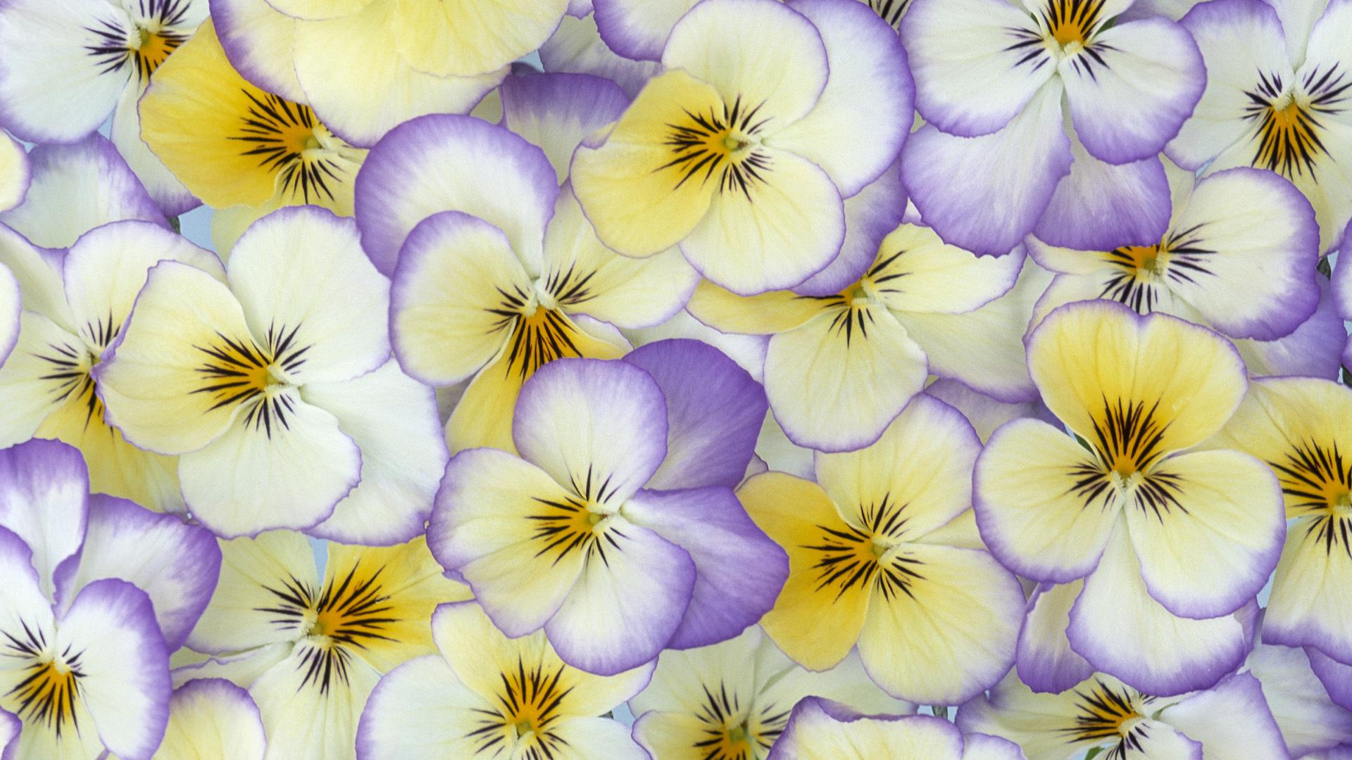 pansy flower petals wallpaper 50004