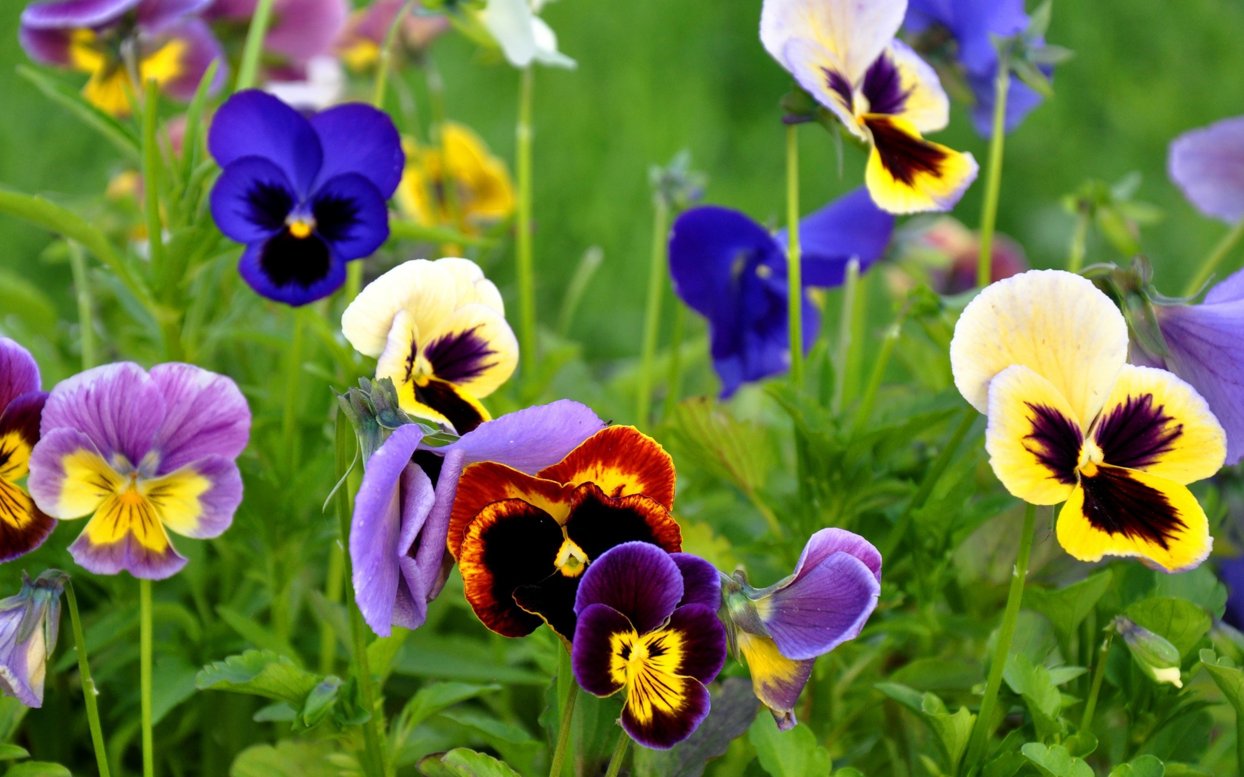 pansy flowers nature wallpaper 50003