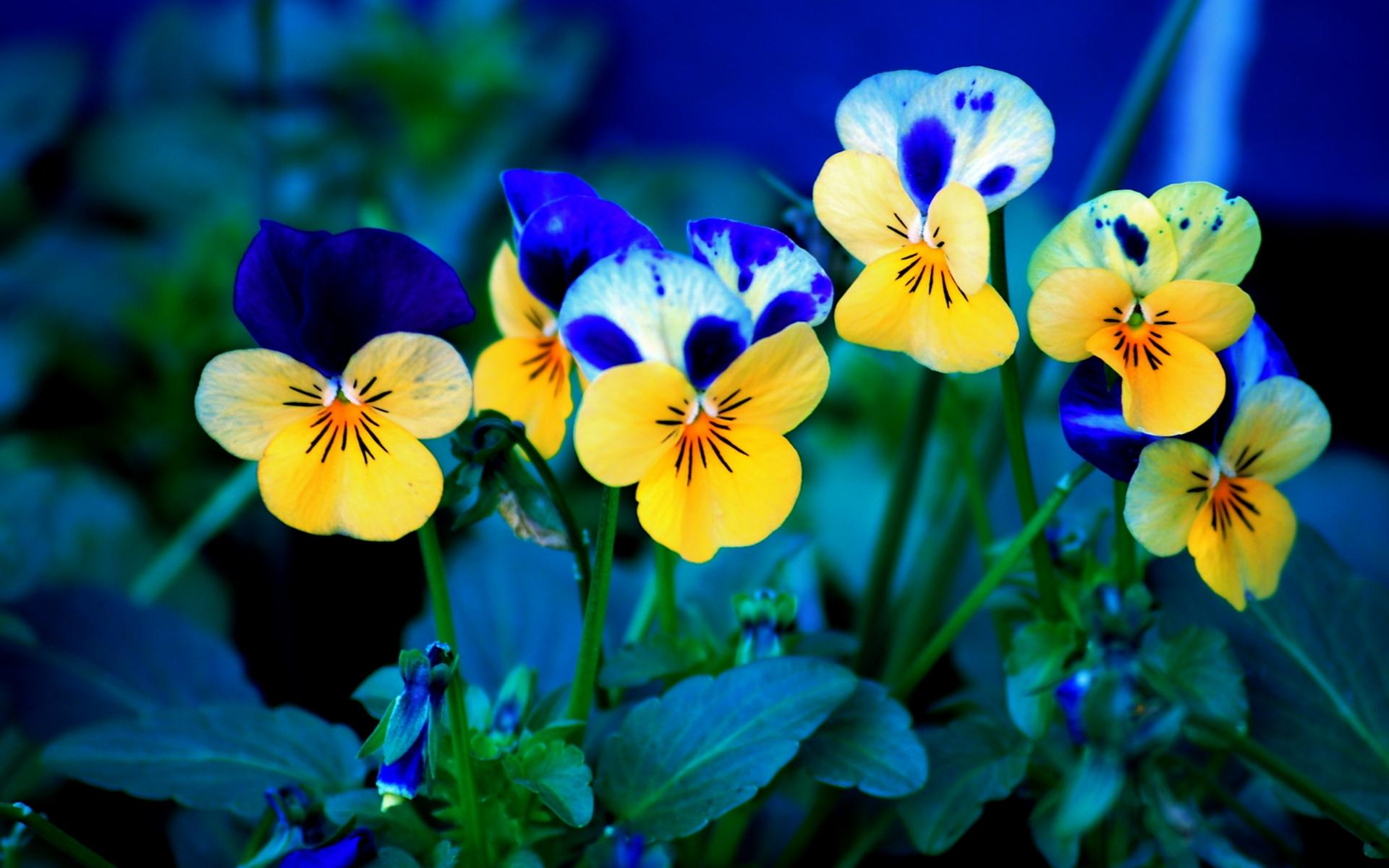 pansy flowers wallpaper 50011