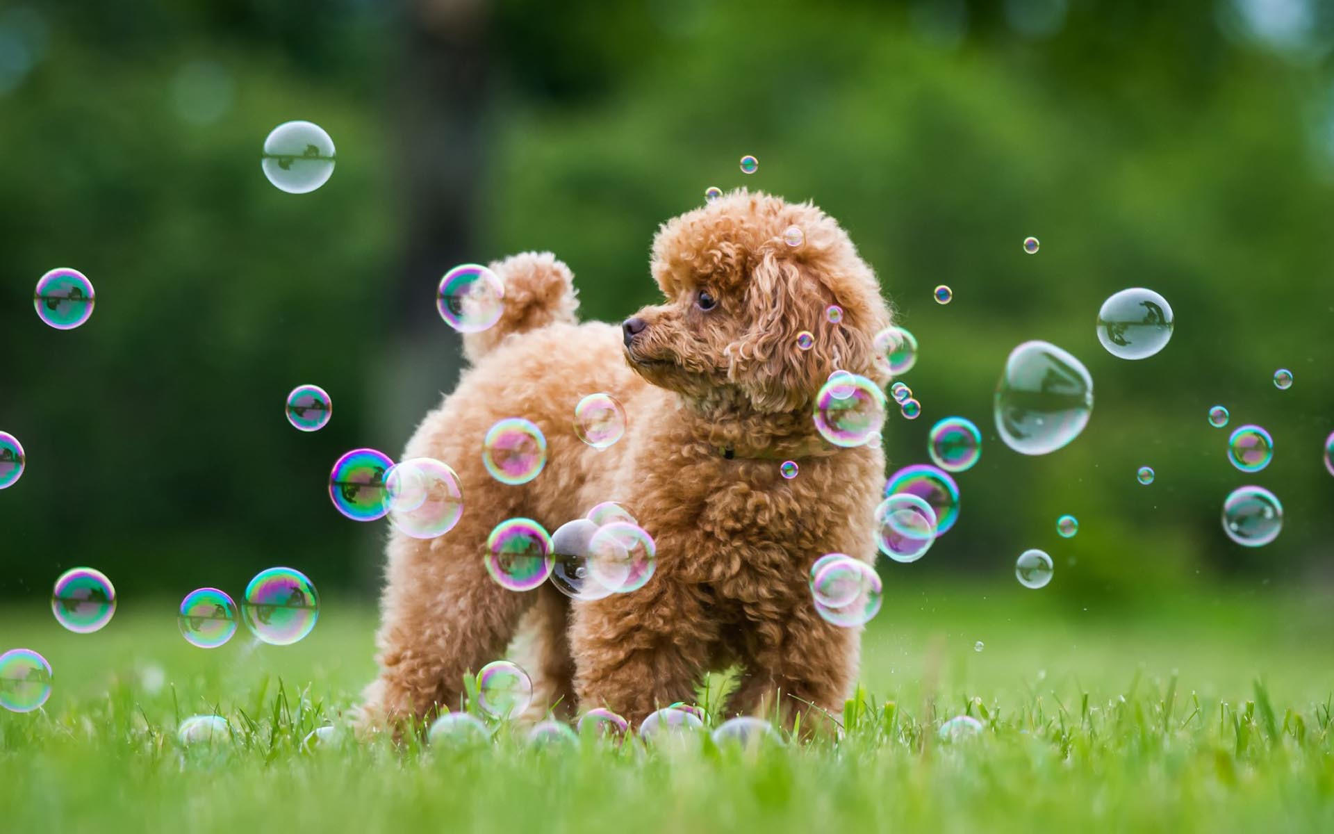 Poodle Dog Wallpaper 49987