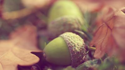 Acorn Wallpaper Background 52214