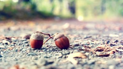 Acorn Wallpaper Background HD 52216