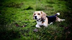 Beagle Dog Computer Wallpaper 50047