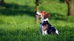 Beagle Dog Desktop Wallpaper 50048