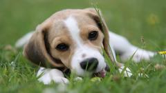 Beagle Dog Wallpaper Background 50051