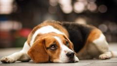 Beagle Dog Wide Wallpaper HD 50046