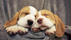 Beagle Dogs Sleeping Wide Wallpaper 50052