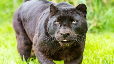 Black Panther Animal Wallpaper 52622