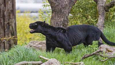 Black Panther Animal Wallpaper Pictures 52621