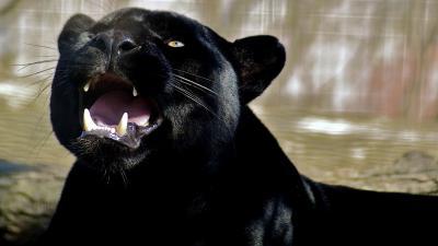 Black Panther Desktop Wallpaper 52619