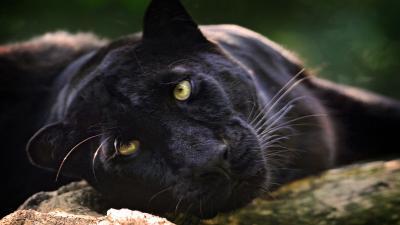 Black Panther HD Wallpaper Background 52628