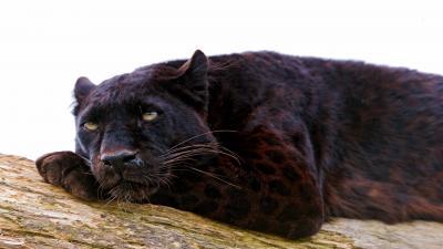 Black Panther Resting Wallpaper 52624