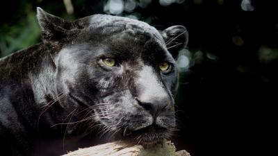 Black Panther Wide Wallpaper 52620