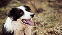 Border Collie Dog Desktop Wallpaper 49306
