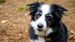 Border Collie Dog Wallpaper 49311