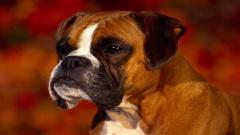 Boxer Dog Computer Wallpaper 49559