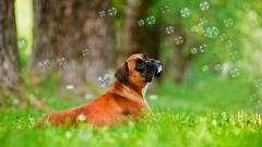 Boxer Dog Desktop Wallpaper 49552
