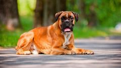 Boxer Dog Desktop Wallpaper 49555