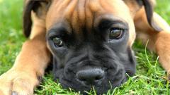 Boxer Dog Up Close Wallpaper Background 49556