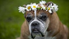 Boxer Dog Wallpaper Background 49554